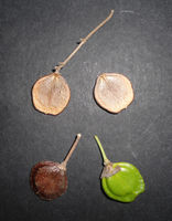 (Nyctanthes arbor-tristis) Fruit(seed) 03.JPG
