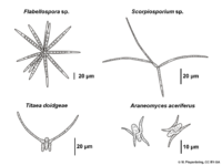 04 02 05 conidia, Ingoldian Hyphomycetes, staurospores, asexual fungi, imperfect fungi (M. Piepenbring).png