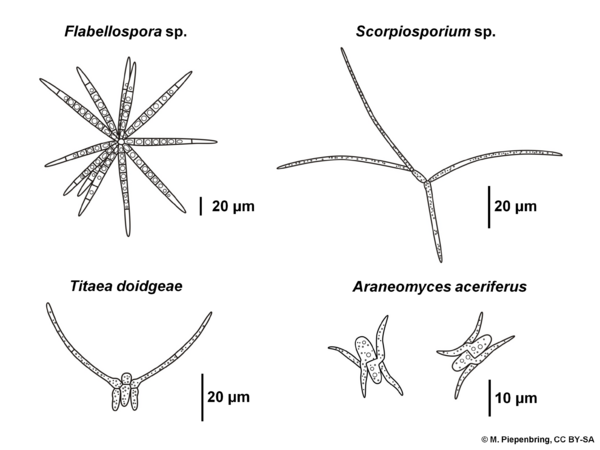 Conidia, Ingoldian Hyphomycetes, staurospores, asexual fungi, imperfect fungi (diagram by M. Piepenbring)