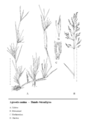 Schematic drawing of Agrostis canina L.