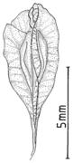 Reynoutria x vivax Frucht