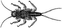 Nemouridae und Taeniopterygidae