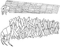 Köcherbewohnende Köcherfliegen-Arten