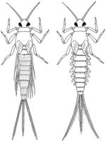 Leptophlebiidae, Baetidae
