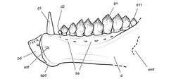 Figure 87. Lower jaw of the heterodontosaurid Pegomastax africanus gen. n. sp. n. from the Lower Jurassic Upper Elliot Formation of South Africa. Reconstruction of the predentary and dentary in lateral view (based on SAM-PK-K10488). Dashed lines indicate estimated edges. Abbreviations: adf anterior dentary foramen apd articular surface for the predentary be buccal emargination d dentary d1, 2, 11 dentary teeth 1, 2, 11 emf external mandibular fenestra pd predentary pri primary ridge.