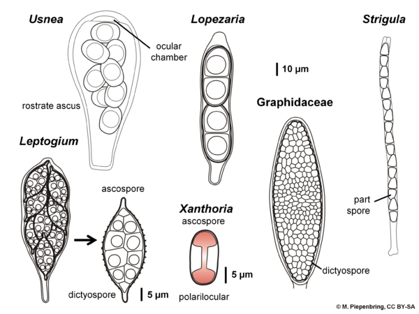 Asci and ascospores of lichens, Lichenes (diagram by M. Piepenbring)