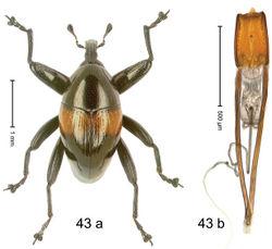 Figure 43. Trigonopterus katayoi Riedel, sp. n., holotype; (a) Habitus (b) Aedeagus.