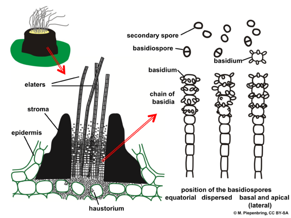 Fruiting body with elaters and basidia of Graphiola spp., Exobasidiales Basidiomycota (diagram by M. Piepenbring)