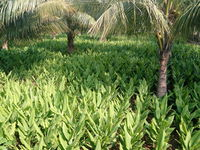 """Field of Turmeric with coconut as a inter crop"".jpg"