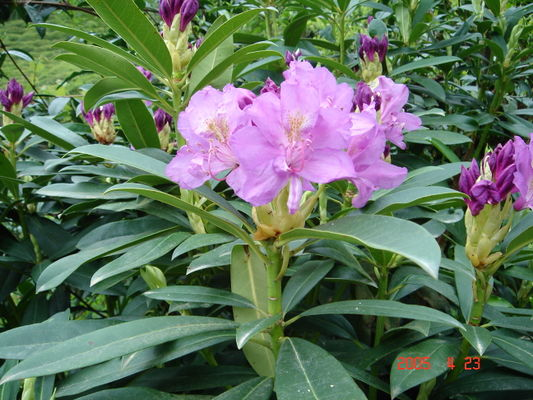 Rhododendron pontica.JPG