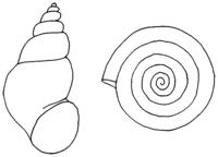 Andere Süßwasserschnecken