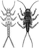Leuctridae, Capniidae, Nemouridae, Taeniopterygidae