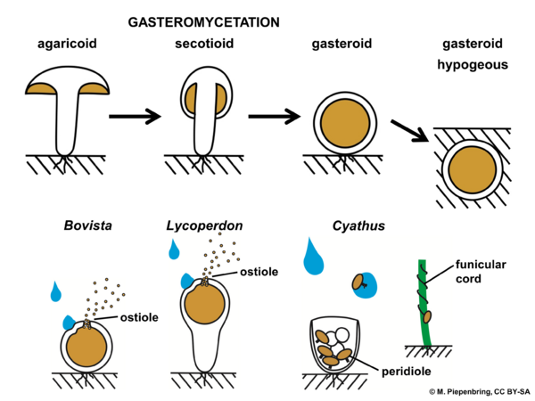 Types of fruiting bodies of gasteromycetes, Basidiomycota (diagram by M. Piepenbring)