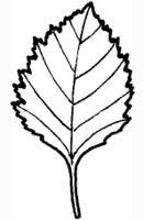 Simple double toothed leaf JR Press glossary 5.jpg