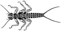 Perlidae und Perlodidae