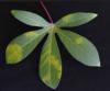 Cassava brown streak virus PLoS ONE 7 e45277.png