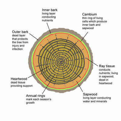 Tree cross section JR Press.jpg