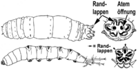 Kohlschnaken- und Stelzmückenlarve
