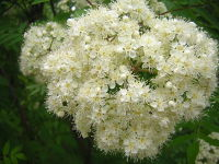Blütenstand der Eber-Esche