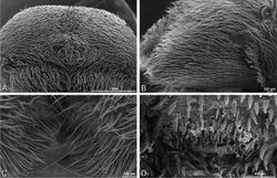 Figure 28. A–D Dorceus fastuosus, male from Mashabin sand dunes, Israel (MR006, HUJ), scanning electron micrographs. A prosoma, anterior view B left chelicerae, lateral view C chelicerae, anterior distal view showing fangs and teeth D epiandrous region.