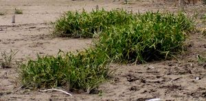 Dienst 2010 Bodensee-Makrophyten Sagittaria sagittifolia.jpeg