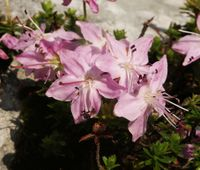 Rhodothamnus chamaecistus, Blüten