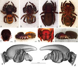 Figure 43. A–J Eresus kollari. A–D, I, J male from Prague, Czechia (MR007, MR) E–H female from res. Srbsko, Czechia (MR016, MR) A–D habitus of male, photomicrographs E–H habitus of female, photomicrographs I, J illustrations of left male palp A, E dorsal view B, F ventral view C, G anterior view D, H lateral view I prolateral view J retrolateral view, arrow indicates notch in conductor. C conductor E embolus T tegulum.