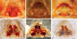 Figure 17. A–F Epigyna of Gandanameno sp., photomicrographs. A, D from Iringa, Tanzania (ZMUC 19970517, ZMUC) B, E from Kommetjie, Western Cape, South Africa (CASENT 9039241, CAS), note broken embolus left in female reproductive system C, F from Port Elizabeth, South Africa (port-3325, ZMHB) A–C ventral view D–F dorsal view, cleared. CD copulatory duct S spermatheca SH spermathecal head.