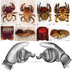 Figure 26. A–J Dorceus fastuosus. A–D, I–J male from Mashabin Sand Dunes, Israel (MR006, HUJ) E–H female from Mashabim sand dunes, Israel (MR002, MR) A–D habitus of male, photomicrographs E–H habitus of female, photomicrographs J, K illustrations of left male palp. A, E dorsal view B, F ventral view C, G anterior view D, H lateral view. I prolateral view. J retrolateral view. C conductor E embolus ST subtegulum T tegulum.