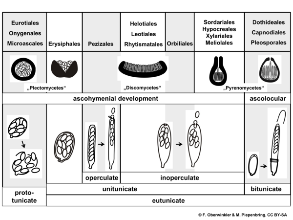 Morphological groups, orders, Ascomycota (diagram by M. Piepenbring)