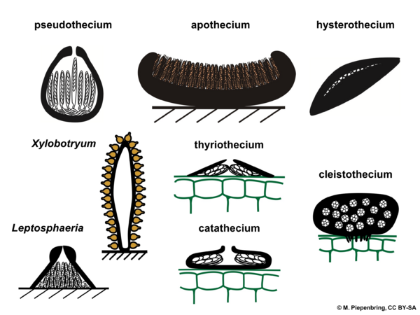 Fruiting bodies, Dothideomycetes, Ascomycota (diagram by M. Piepenbring)