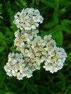 Achillea millefolium 003.JPG