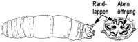 Kohlschnakenlarve