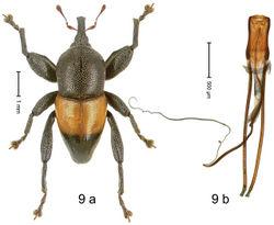 Figure 9. Trigonopterus apicalis Riedel, sp. n., holotype; (a) Habitus (b) Aedeagus.
