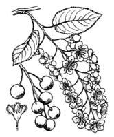 (Zeichnung Coste & Flahault 1903)