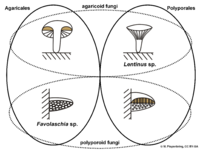03 02 02 concepts of Agaricales and Polyporales, Basidiomycota (M. Piepenbring).png