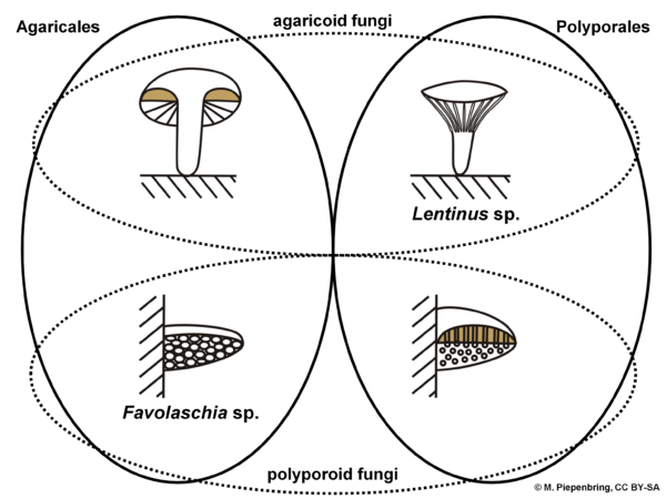 Concepts of Agaricales and Polyporales, Basidiomycota (diagram by M. Piepenbring)
