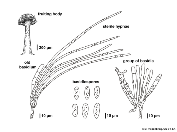 Fruiting body with basidia of Atractiella delectans, Atractiellales Basidiomycota (diagram by M. Piepenbring)