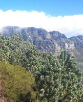 4 Silvertrees on Lions Head - Cape Town.JPG