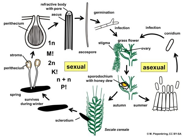 Life cycle, Claviceps purpurea, Clavicipitaceae, Hypocreales, Ascomycota (diagram by M. Piepenbring)