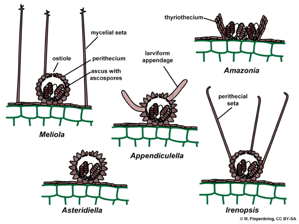 Fruiting bodies, Meliolales, Ascomycota (diagram by M. Piepenbring)
