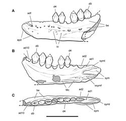 Figure 16. Dentary of Echinodon becklesii from the Lower Cretaceous Purbeck Formation of England. Line drawings of left dentary in lateral (A), medial (B), and dorsal (C) views (NHMUK 48215b). Hatching indicates broken bone; dashed lines indicate estimated edges; tone indicates matrix. Scale bar equals 1 cm. Abbreviations: ad1, 2, 10 alveolus for dentary tooth 1, 2, 10 adf anterior dentary foramen apd articular surface for the predentary be buccal emargination d4, 9 dentary tooth 4, 9 io impressed ornamentation Mc Meckel's canal ssymf subsymphyseal flange sym symphysis symt symphyseal trough.