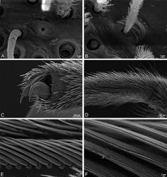 Figure 38. A–F Dresserus sp., female from Klein Kariba, South Africa (CASENT 9025745, CAS), scanning electron micrographs of legs A tarsal organ, left leg I B trichobothrium, left leg I C tarsal claw, left leg I setae removed D left metatarsus IV, retrolateral view, showing calamistrum E detail of calimistrum F detail of teeth on calimistrum setae.