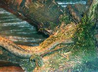 Würfelnatter: Naturstation Lebendige Nahe