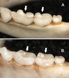 Figure 9. Dorsolateral views of the left mandibular toothrows in Sturnira bakeri (A, QCAZ 14635 ♀) and Sturnira burtonlimi (B, ROM 104294 ♂), illustrating taxonomic differences in the shape of the metaconid and entoconid of m1 and m2. In Sturnira bakeri, the metaconid and entoconid of m1 and m2 are well defined and separated by a deep notch (arrows). In Sturnira burtonlimi, however, the metaconid and entoconid of m1 and m2 are poorly defined and are not separated by a deep notch (arrows).
