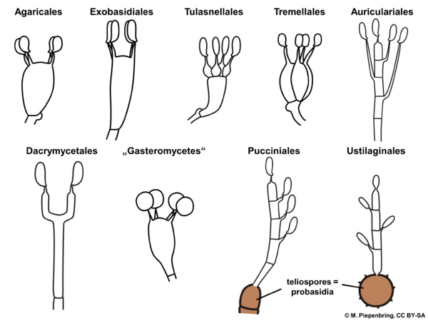 Types of basidia (diagram by M. Piepenbring)