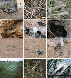Figure 4. A–L Retreats, webs, and habitus of living Eresidae, photographs. A Adonea fimbriata retreat on the ground from Sede Boqer, Israel (photo by Efrat Gavish-Regev) B Dresserus sp. retreat in the grass (photo by Charles Haddad) C Eresus walckenaeri retreat of juvenile from Ioannina, Greece (photo by Siegfried Huber) D–E Gandanameno sp. from west of Helmeringhausen Namibia (photos by Martin Forman) D Retreat on Acacia E female, with egg sac and various prey remnants F Gandanameno sp. femalefrom Amanzi Game Reserve, South Africa (photo by Tamás Szűts) G, H Seothyra sp. from Namibia G retreat under sand, showing the antelope track pattern H specimen and the exposed retreat (photos E–H, J, L by Teresa Meikle) I Loureedia annulipes, burrow from Sede Boqer, Israel (photo by Efrat Gavish-Regev) J–L Stegodyphus retreats J Stegodyphus dumicola from Spioenkop, South Africa K Stegodyphus lineatus from Tel-Hadid, Israel (photo by Amir Weinstein) L Stegodyphus mimosarum from Spioenkop, South Africa.