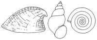 Süßwasserschnecken