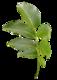 Fiederblatt der Walnuss