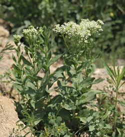 Cardaria draba 20070415.jpg